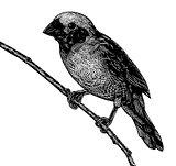 Scratchboard bird