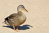 One solitary Mallard duck walking on sandy beach