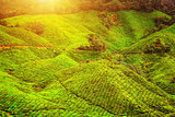Green tea plantation landscape in sunlight
