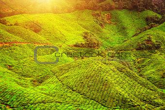 Green tea plantation landscape in sunlight