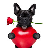 valentines rose dog