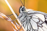 Body detail of black and white butterfly