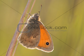 Small heath Butterfly on the Grass Stalk
