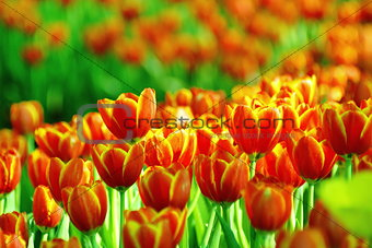 Beautiful flower of tulip field in the garden