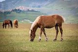 Horse at Piano Grande, Castelluccio di Norcia, Italy