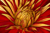 chrysanthemum flower close up, abstract background