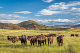 Open range cattle in Colorado