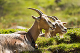 Goats on the Green Grass