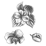 Hand drawn balsams at different stages of growth, impatiens