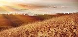 Golden dry wheat field