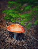 Amanita mushroom in autumn forest