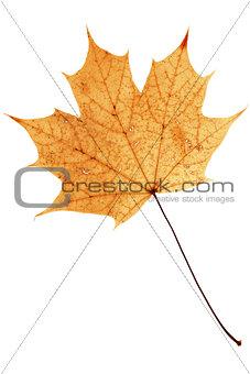 Beautiful golden maple leaf