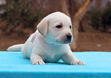 a labrador puppy on a blue background