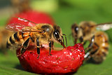 Bees eating fruit