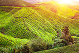 Tea plantation. Natural lanscape