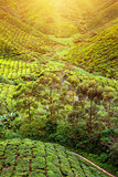 Tea plantation. Natural lanscape