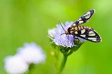 Wasp Moth or Eressa angustipenna