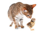 tabby cat and chick