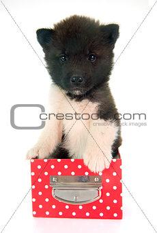 american akita puppy