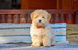 reddish havanese puppy dog