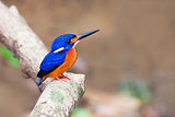 Blue-eared Kingfisher (male)