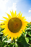 sunflower with blue sky and sky. Summer landscape