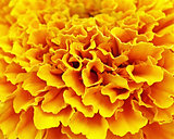 Delicate layers of ruffled petals of the MARIGOLD flower
