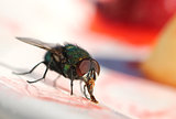 House fly eating sweet