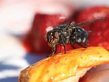 Fly eating sweet fruit macro close-up