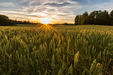 Sunset on wheat field in Finland