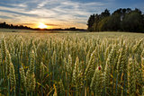 Sunset on wheat field in Finland with ladybug
