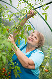Senior pensioner woman in greenhouse with tomato