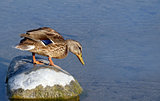 Little Mallard duck standing on top of large rock looking over edge into water