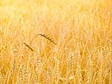 Golden Ripe Wheat Background. Close-up of Ripe Wheat Ears