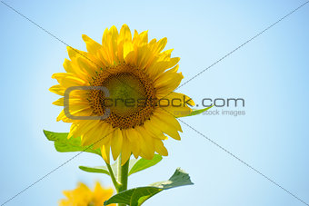 Beautiful Bright Sunflower Against the Blue Sky