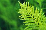 green fern leaf on de focused background
