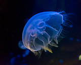 Moon jellyfish  in an aquarium