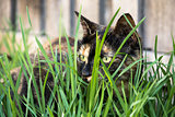 Tortoiseshell cat hiding in grass