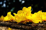Yellow tabebuia, Trumpet flower