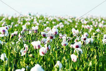 agriculture poppy field