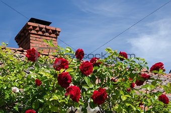Red roses at a roof