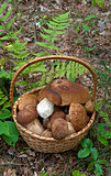 porcini in basket