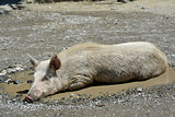 swine in puddle