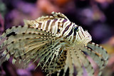 Beautiful red lionfish Pterois volitans