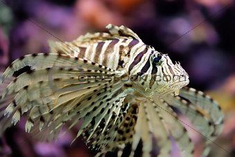 Beautiful red lionfish Pterois volitans