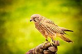 sitting hawk