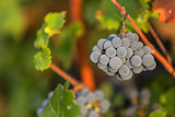 Cabernet red grapes