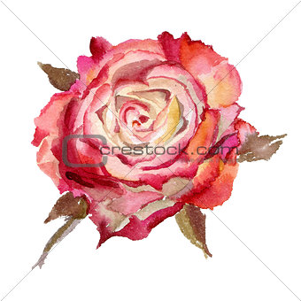 Watercolor flower. Rose