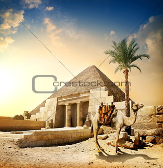 Camel near pyramid