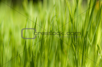 Close up of fresh thick grass with boken